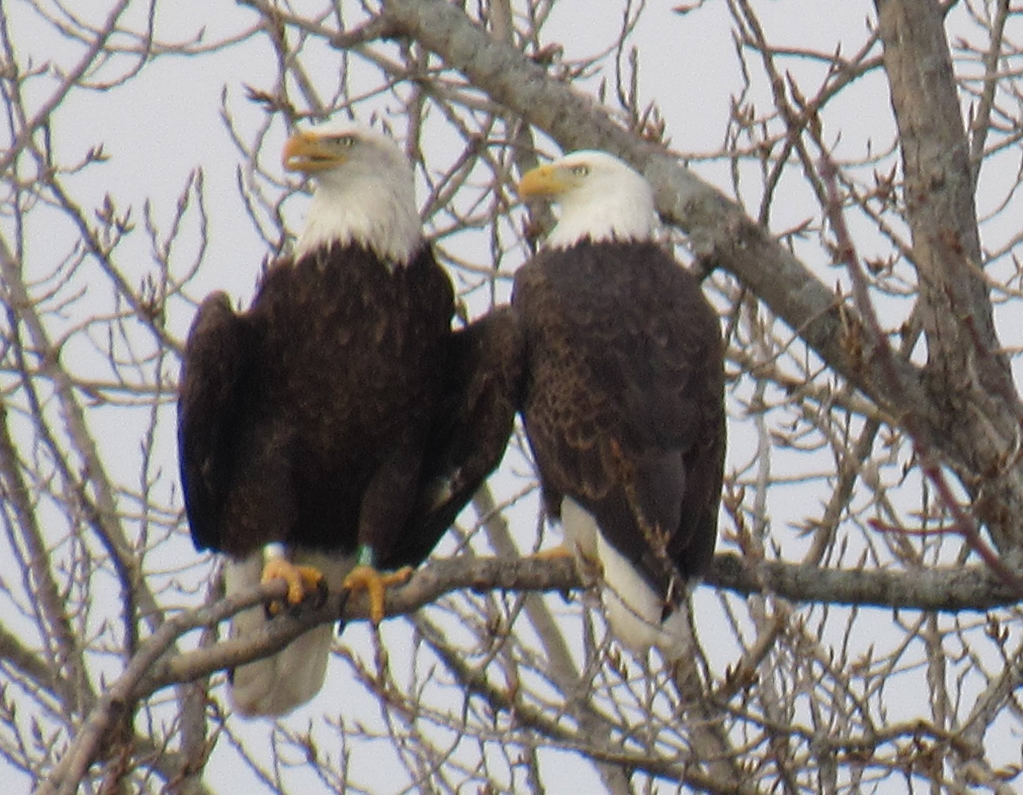 bald_eagle_pair_1454432989.jpg
