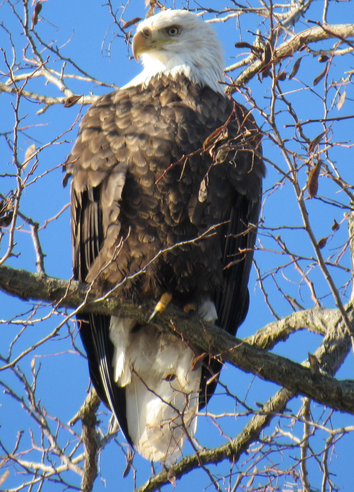 close_up_bald_eagle_1454432977.jpg